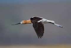 American Avocet (Recurvirostra americana): Long and Lean (Johnrw1491) Tags: lake nature birds oregon photography wildlife flight american waterfowl ponds avian wading refuge marshes americanavocet avianexcellence