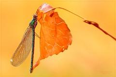 SFOGLIAMI (Siprico - Silvano) Tags: canon natura macros farfalla macrofotografia cernuscosulnaviglio macrofografia buzznbugz siprico fotografianaturalistica soloreflex pricoco silvanopricoco wwwpricocoorg httpwwwpricocoorg wwwfotografiamacrocom