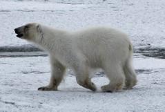 Polar Bear (237) (Richard Collier - Wildlife and Travel Photography) Tags: polarbear arcticwildlife