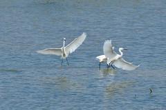 a_DSC_8700 (OrNeSsInA) Tags: aironi byrd uccelli natura airon cormorani folaghe trasimeno lago umbria lucarosi toscana passignano montedellago perugia insetti farfalle nikon tamron