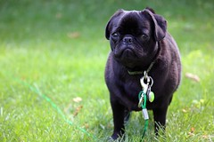 Sad Puppy (erinandersonn) Tags: summer dog black cute green grass canon puppy lens outdoors rebel funny sad zoom adorable pug pugs 55250 t2i
