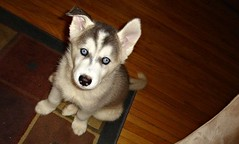 Baby Harley (Deanna_Rose) Tags: dog dogs beautiful puppy eyes husky blueeyes siberianhusky huskypuppy thechallengegame