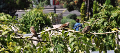 city sparrows (kengoora) Tags: city tree green birds ukraine sparrows easterneurope tweet kharkiv город птицы дерево україна украина харьков 雀科 харків місто воробьи зеленое птахи зелене горобці スズメ科