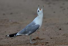 Before the fight (Marina Yolkina) Tags: bird animal adult gull scream   commongull  laruscanus cotcpersonalfavorite    flickrelite