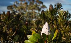 Mt Tomah Botanic Gardens (Jenn Findley Photography) Tags: blue white mountains gardens botanical flora mt sydney nsw 7d protea tomah