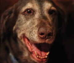 Ty with a big smile. (Madfish1c) Tags: pets dogs chocolate canine labs