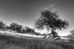 No Tree is an Island (J. A. Branch) Tags: arizona tree island desert az klondyke