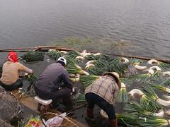 Washing vegetables (Carrascal Girl) Tags: china vegetables farmers farming onions yunnan dali pastoral leeks erhailake washingvegetables