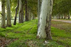 (Ignaciocenteno{photo}) Tags: madrid espaa verde automne canon hojas 50mm spain rboles 7d rbol otoo espagne arbre follaje aranjuez ignaciocenteno