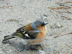 Chaffinch, Glen Affric, November 2012 (allanmaciver) Tags: food colours joy glen well remote cheer fed sturdy affric stocky chaffich allanmaciver