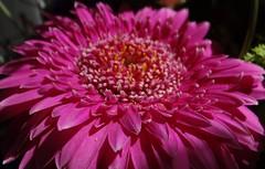 Happy Weekend :-) (Gartenzauber) Tags: flower macro sony gerbera blume floralfantasy perfectpetals unforgettableflowers thebestofunforgettableflowers perfectpetalsprestigiousgroup perfectpetalsexquisitegroup bat´slair