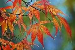 Japanese Maple (Futzliputzli) Tags: autumn fall leaves japanese leaf maple bokeh herbst acer blatt bltter palmatum ahorn japanisch fcherahorn vision:text=0564 vision:plant=0518