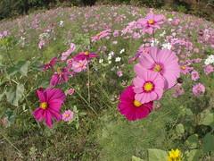 (Polotaro) Tags: flower nature pen olympus   zuiko  11        fconp01 epm2