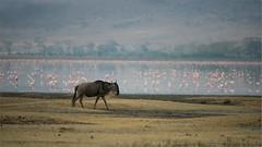 Wildebeest and Flamingos (Raymond J Barlow) Tags: africa travel tanzania pin wildlife flamingo ngc adventure crater wildebeest ngorogoro raymondbarlowphototours