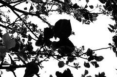 20890020 (senahuang) Tags: film leaf nikon kodak taiwan tmax400 development fm2 50mmf14 carlzeiss zf