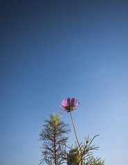 Touch The Sky (Picocoon) Tags: sky flower corner zen comp coreopsis
