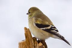 American Goldfinch - Perched (CoreysPics) Tags: snow bird canon birdfeeder finch dslr canoneos birchtree 40d amercangoldfinch