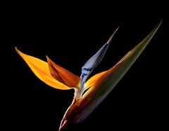 December Bird (Bill Gracey) Tags: blue orange flower color green fleur yellow blackbackground colorful flor backlit backlighting homestudio strobes filllight directionallight offcameraflash tabletopphotography birdorparadise yongnuoyn560 yongnuoyn560ii roguesnoot flordeavedelparaso