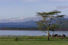 Nakuru National Park (pierre c. 38) Tags: kenya greaterflamingo africanbuffalo flamantrose nakurunationalpark nakurulake buffledafrique kenyanationalreserve