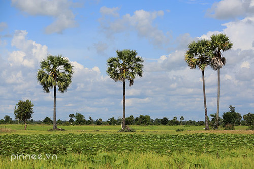 Thốt nốt giữa đồng [ Palm trees within Rice farms]