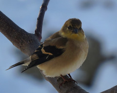 American Goldfinch (Trish Overton) Tags: snow bird birds finch americangoldfinch in evansvillein