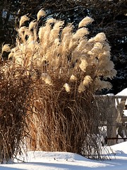 Maiden Grass (Miscanthus) (Dufferin Garden Centre) Tags: displaygarden
