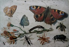 Three Butterfiles, a Beetle and other Insects, with a Cutting of Ragwort by Jan van Kessell Senior (shadow_in_the_water) Tags: butterflies oxford beaumontstreet oiloncopper ox1 janvankessel theashmoleanmuseum daisylindaward threebutterfilesabeetleandotherinsectswithacuttingofragwort janvankesselltheelder