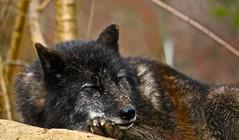 IMG_5286.JPG (Michael Ferranti Photography) Tags: coyote bridge sculpture dog puppy eyes wolf eagle pack americaneagle wolves wolfpack santuary alaskantundra gothamayurveda michaelferrantiphotography mferrantiphoto