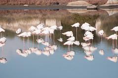 DSC_7576.jpg (Ferraris Clemente) Tags: sardegna wild birds sardinia uccelli pinkflamingo olbia stagno fenicotterirosa