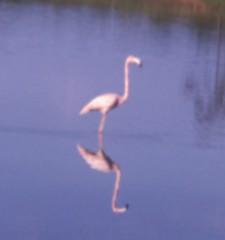 American Flamingo. GMNH 6310. Lago Lake, Clarke County, 25 September 1965. Photo by W. Wilson Baker (Electronic Collection of Georgia Birds) Tags: georgia baker flamingo american 1965 americanflamingo wwilson
