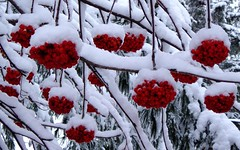 Bonne Année / Happy New Yeaer (M. Carpentier) Tags: winter red snow rouge three hiver neige arbre