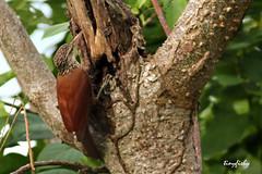 (143b) Straight-billed Woodcreeper - [ Botanical Garden, Cartagena, Columbia ] (tinyfishy's World Birds-In-Flight) Tags: bird southamerica garden botanical columbia straight cartagena woodcreeper billed perching straightbilledwoodcreeper