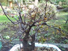 2012-02-14_17-31-09_730 (b0n2a1) Tags: plum bonsai droid floweringplum johnconn