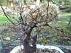 2012-02-14_17-31-09_730 (b0n2a1) Tags: plum bonsai droid floweringplum johnconn