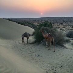 Sunset, Thar Desert, Rajasthan (Paulus Veltman) Tags: sunset sundown camels jaisalmer rajasthan thardesert