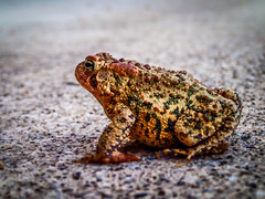 Toad (zenpix44) Tags: nature frog toad