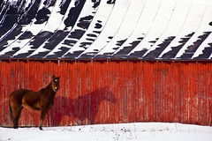 Red Barn with Horse (Photographer Artist) Tags: winter red horse white snow storm cold beautiful field weather barn sunrise canon midwest seasons farm country farming indiana bold michaelhuddleston