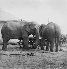 Elephants belonging to Wirths' Circus in Bundaberg 1915 (State Library of Queensland, Australia) Tags: marquee circus queensland elephants bundaberg bigtop statelibraryofqueensland slq wirthscircus