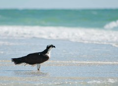 The Ospreys of Pelican Bay (Plays With Needles) Tags: nature wonder hawk osprey seahawk
