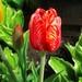 Tulip-2014