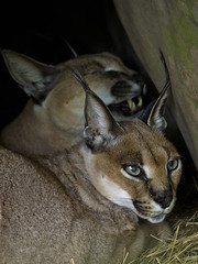 Sassy2604 (swirly) Tags: bigcat sanctuary animalsanctuary bigcats bigcatrescue exoticanimals