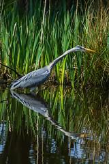 Stalking Heron (Charliebubbles) Tags: