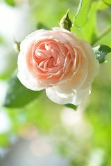Rose 'Heritage' (myu-myu) Tags: flower heritage nature rose japan nikon mygarden  d800   afsvrmicronikkor105mmf28g