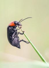 (andrei030) Tags: macro bug stack bicho helios442