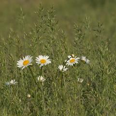 Une brassée de marguerites ** (Titole) Tags: field grass daisies squareformat marguerite explored friendlychallenges thechallengefactory titole nicolefaton
