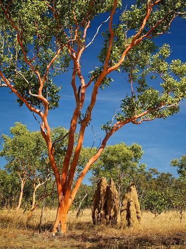 Eucalyptus tintinnans - Hills salmon gum, Ringing gum