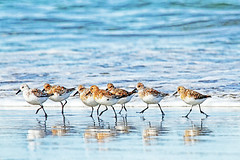tiny dancers (1crzqbn) Tags: sanderlings color sunlight reflections bokeh tinydancers 1crzqbn textures seven nature birds 7d coth5