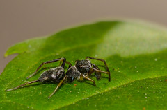 Ant-mimicking spiders (mcvmjr1971) Tags: life ex lens real nikon spiders tubes sigma size extension 150mm antmimicking d7000