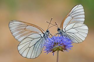 Aporia crataegi - Pieride del biancospino. En.: Black-veined White