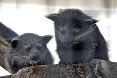 Binturong-Jungtiere (catnip254) Tags: berlin zoo cub tierpark bearcat binturong tierparkberlin civet malayanbinturong schleichkatze marderbr malaiischerbinturong